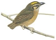 Animals Drawings - White throated spadebill by Anonymous