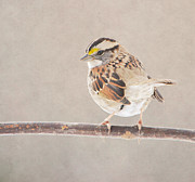 Deena Stoddard - White Throated Sparrow