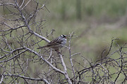 Douglas Barnard - White-throated Sparrow
