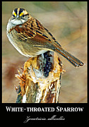 A Gurmankin - White throated Sparrow...