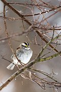 Richard Macquade - White-Throated Sparrow