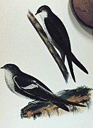Movie Poster Prints Prints - White throated Swift Bird Print by Movie Poster Prints