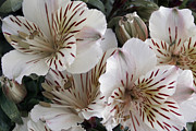 Peruvian Lily Prints - White Tiger Azalea Print by Ben and Raisa Gertsberg