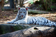 White Tiger Framed Prints - White Tiger Cub Framed Print by Brian Jannsen