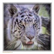 LeeAnn McLaneGoetz McLaneGoetzStudioLLCcom - White Tiger Dreams Radial Blur