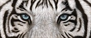 Rachel Stribbling - White Tiger Eyes Painting