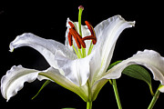 Springtime Photos - White tiger lily still life by Garry Gay
