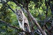 Tree Creature Metal Prints - White Tiger on the Tree Metal Print by Jenny Rainbow