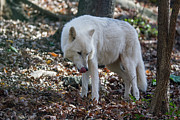 John Haldane - White Timber Wolf