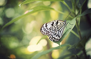 Wings Photos - White Tree Nymph by Juli Scalzi