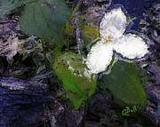 Claire Bull - White Trillium
