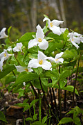 White Flower Photos - White Trillium by Elena Elisseeva