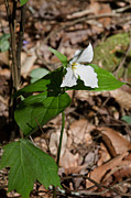 Paul Mashburn Art - White Trillium by Paul Mashburn