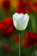 White Tulip - Featured 3 Print by Alexander Senin
