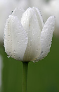 Floral Photos Photos - White Tulip by Juergen Roth