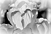 White Tulip Print by Marty Koch