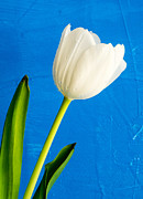 Tulip Prints - White Tulip over blue Print by Edward Fielding