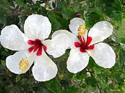 Photographs With Red. Acrylic Prints - White Twin Hibiscus with Red Veriegation Acrylic Print by Buzz  Coe