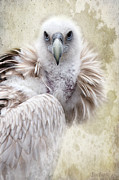 Barbara Orenya Prints - White Vulture  Print by Barbara Orenya