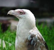 DiDi Higginbotham - White Vulture