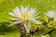 Patricia Hofmeester - White water lilies