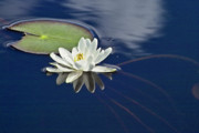 Water Lilly Photos - White Water Lily by Heiko Koehrer-Wagner