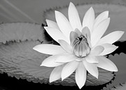 Sabrina L Ryan - White Water Lily in the River
