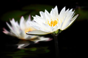 Julianne Bradford - White Water Lily