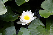 Pond In Park Prints - White water-lily Print by Krasimira Nevenova