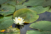 Lilly Pad Photos - White Water Lily by Matt Dobson