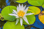 Patricia Hofmeester - White water lily
