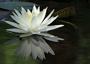 Hawaiian Pond Prints - White Water Lily Reflections Print by Sabrina L Ryan