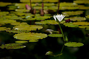 Tropical Photographs Originals - White Water Lily uncropped by Julio Solar