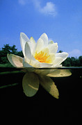 White Water Lily Art - White Water Lily by Willem Kolvoort