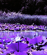 Inverted Color Prints - White Water Lotus in Violet Print by Shawna  Rowe
