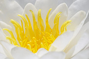 White Waterlily Framed Prints - White Waterlily Detail Framed Print by Matthias Hauser