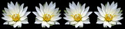 Rose Santuci-Sofranko - White Waterlily with...