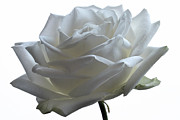 White Roses Originals - White Wedding Rose. by Terence Davis
