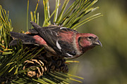 Crossbill Prints - White-winged Crossbill Print by Christopher Ciccone