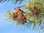 Crossbill Posters - White-winged Crossbill Poster by Debbie Stahre