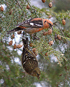 Crossbill Prints - White-winged Crossbills Print by Mike Dickie