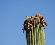 Coo Photos - White Winged Dove and a Saguaro Cactus by Donna Van Vlack