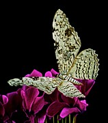 White Witch Moth Resting At Midnight  Print by Leslie Crotty