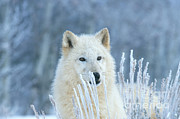 Alan and Sandy Carey - White Wolf In Winter Frost