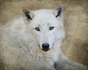 Arctic Wolf Photos - White Wolf by Jai Johnson