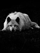 Timber Wolf Photos - White Wolf  by Jerry Cordeiro
