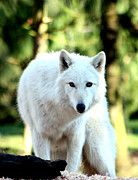 Arctic Wolf Photos - White Wolf by Nick Gustafson