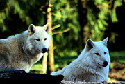 Arctic Wolf Photos - White Wolves by Nick Gustafson
