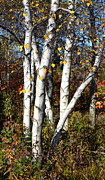 Fall Scenery Prints - Whiteshire Birch Print by Julie Palencia