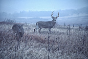 Grey Day Prints - Whitetail Buck and Doe Misty Day Print by Thomas R Fletcher